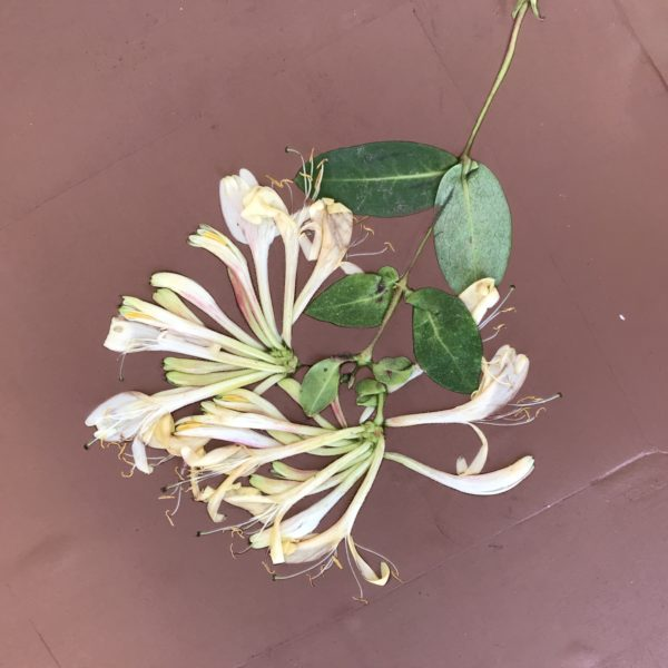 honeysuckle on clay